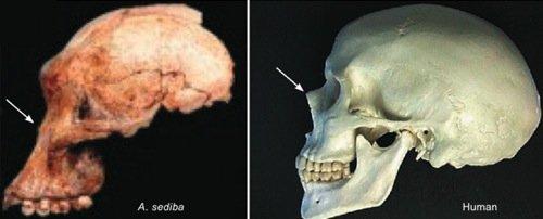 Sediba skull
