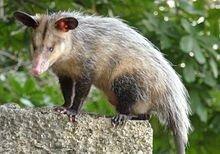 Common opossum