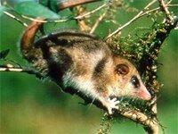 El Monito del Monte opossum