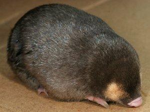 Cape golden mole