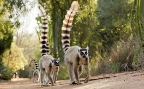 True lemurs