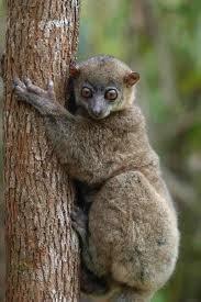 Holland's sportive lemur