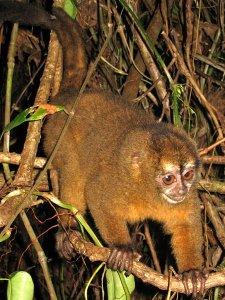 Panamania night monkey