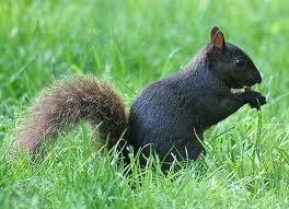 Black tree squirrel
