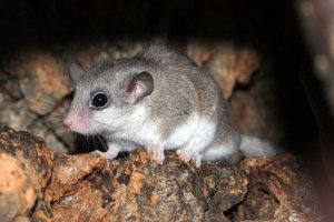African dormouse