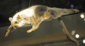 Scaly-tailed flying squirrel