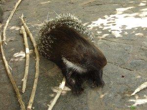 Brush-tailed porcupine