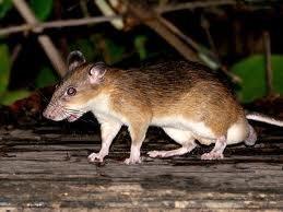 Spiny rat