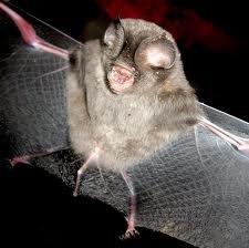 Sundevall's leaf-nosed bat