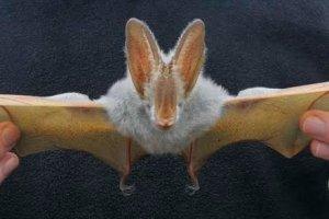 Yellow-winged bat