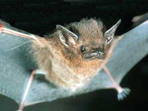 Thomas's sac-winged bat
