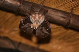 Egyptian slit-faced bat
