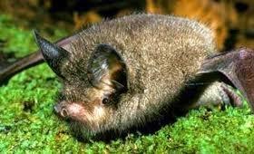 New Zealand lesser short-tailed bat