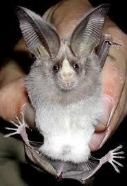 Californian leaf-nosed bat
