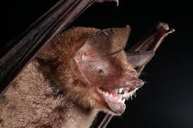 Parnell's mustached bat