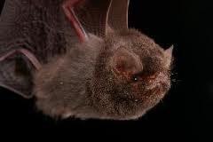 Thumbless bat