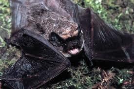 Parti-coloured bat