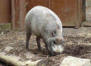 Bearded pig