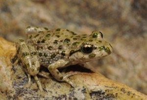 Iberian Parsley Frog