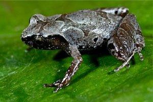 Leptobrachella baluensis
