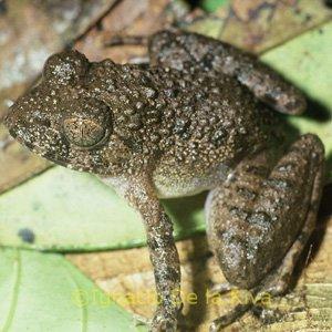 Scotobleps gabonicus