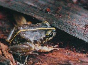 Eupsophus emiliopugini