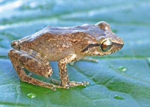 Eleutherodactylus amplinympha