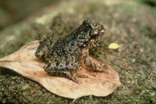 Hochstetter's frog